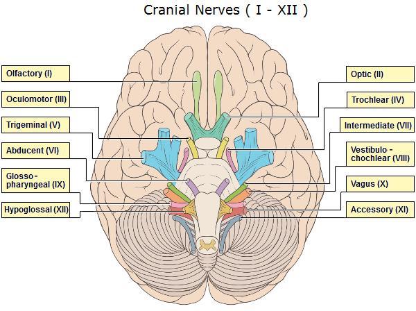brain_cranial_nerves_600px.jpg