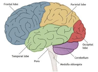 how to remember the lobes of the brain