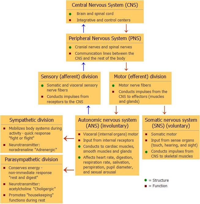 nervous chart: The nervous system complex regional pain syndrome crps