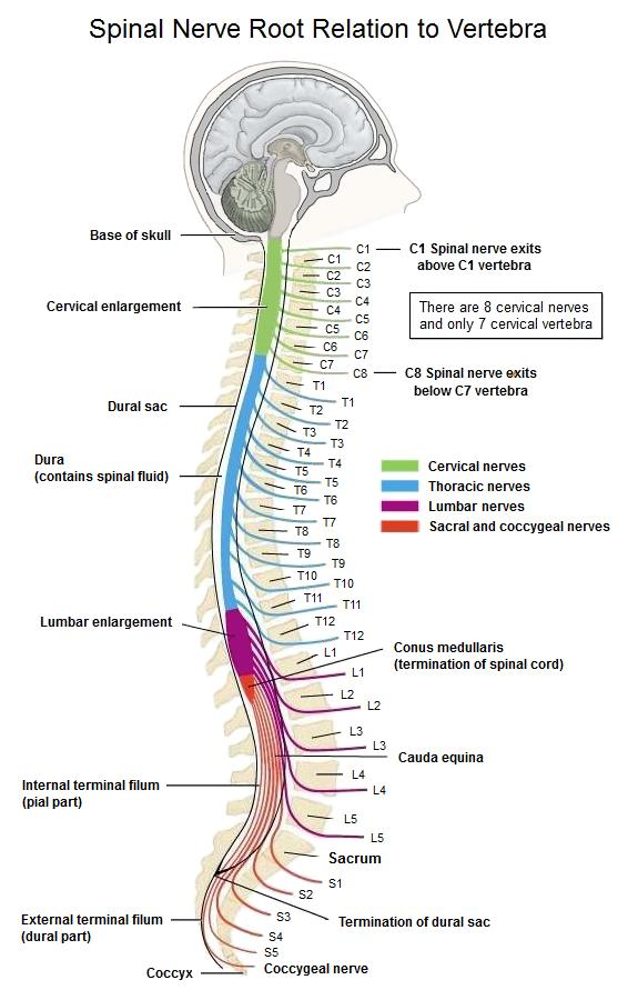 My-MS org Anatomy - Spine  Labeled Thoracic Vertebrae