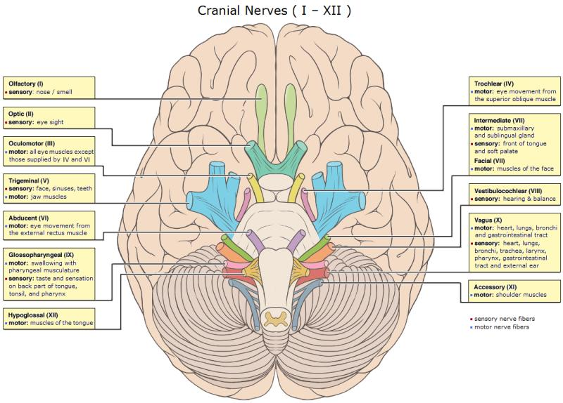 The cranial nerves and brainstem ccuart Gallery