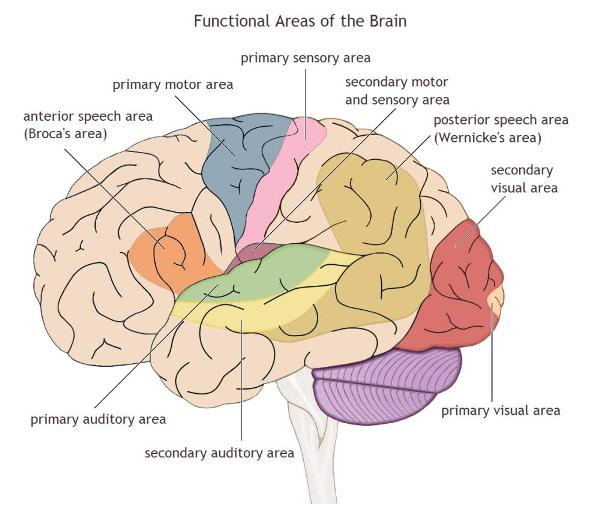 The Cerebrum and Cerebral Hemispheres