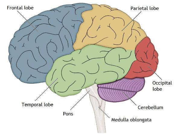 The Lobes and Limbic System